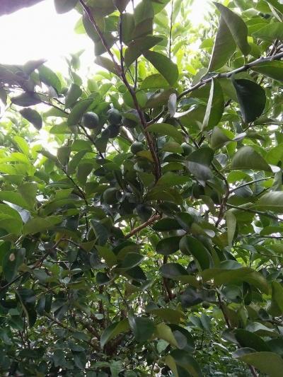 Membuat Pohon Jeruk Berbuah Lebat