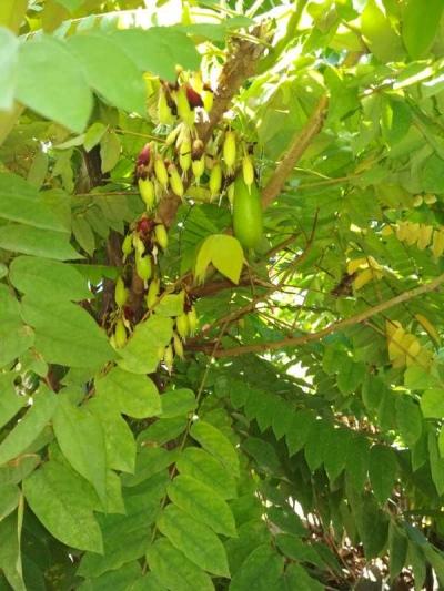 Mempercepat Belingbing Wuluh Berbuah Lebat Selebat Daunnya