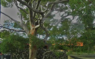 Ada Pohon Hantu di Australia