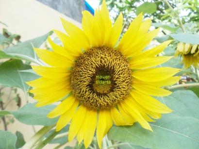 Mempercantik Halaman dengan Bunga Matahari