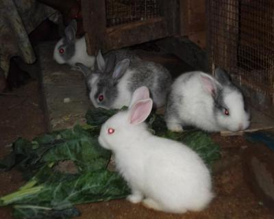 Kontroversi Antara Pencinta Kelinci vs Peternak Kelinci Pedaging