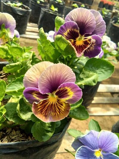 Bunga Viola dengan Berbagai Keunikannya