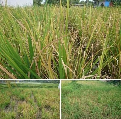Petani Merana, Sawah di Padang Diserang Hama