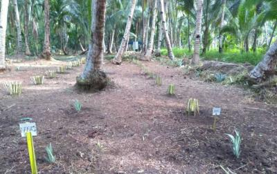 Mengintip Sekolah Lapangan, Belajar Agroforestri, Jangan Terpaku pada Satu Jenis Tanaman