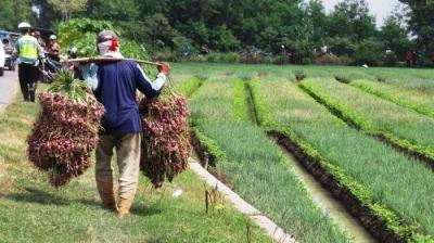 Harga Bawang Merah Anjlok, Petani Bawang di Brebes Merugi