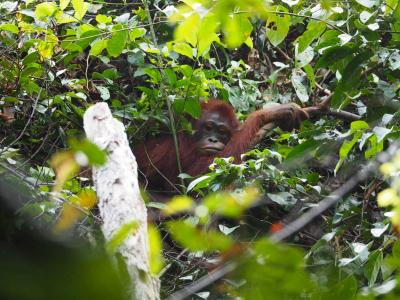 Mengapa Orangutan Disebut sebagai Spesies Kunci?