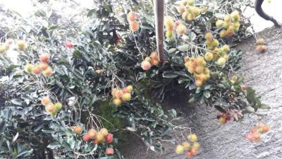 Tips Supaya Pohon Rambutan Meski Kecil tapi Berbuah Lebat