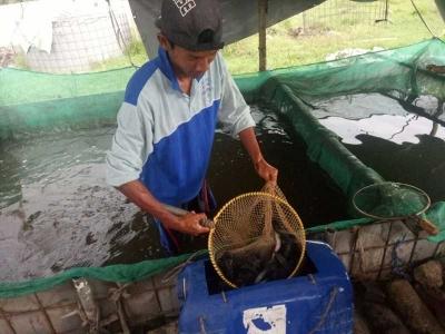 Tips Meningkatkan Produksi Ikan Lele dengan Alami dan Menyehatkan