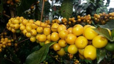 Jatuh Cinta pada Yellow Caturra, Kopi Langka dari Bajawa