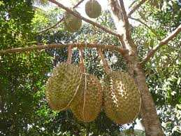 Durian Baper!