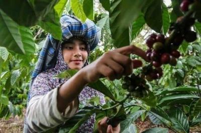 Kopi Indonesia Mendunia, Bagaimana Nasib Petani?