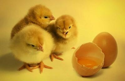 Ayam dan Telur di Tengah Politik Caci Maki