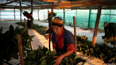 Pengganti Narkotika, Myanmar Pilih Ulat Sutra, Bagaimana dengan Aceh?