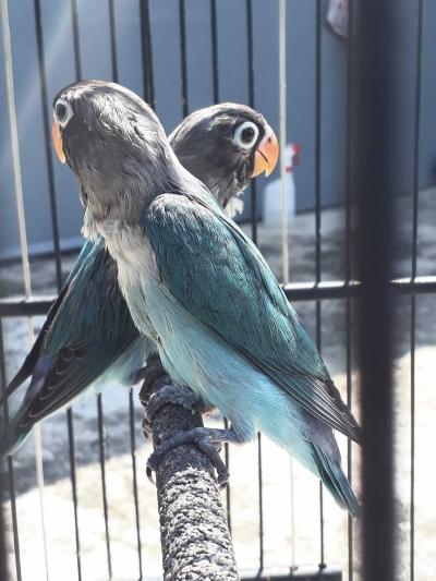 Burung Cinta, Hobi dan Asa di Lumajang