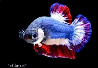 Kliwon, Edisi Menagisi Ikan Cupang