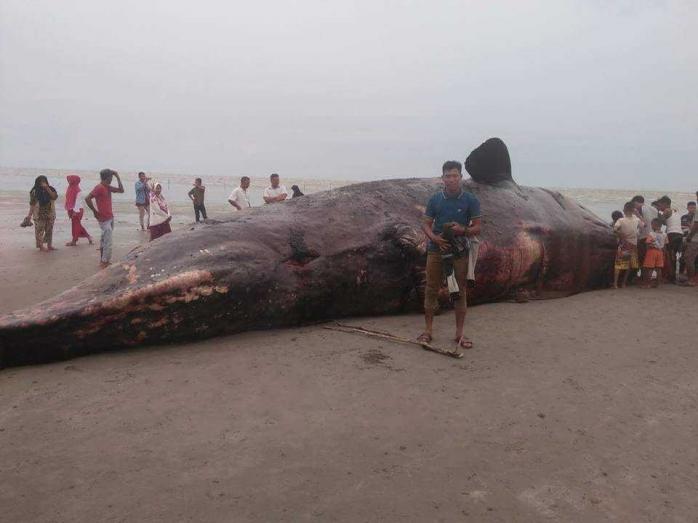 Lagi, Ikan Paus Terdampar di Perairan Aceh