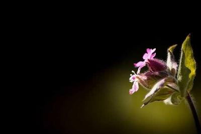 Anyelir yang Tumbuh di Batang Kayu Cendana