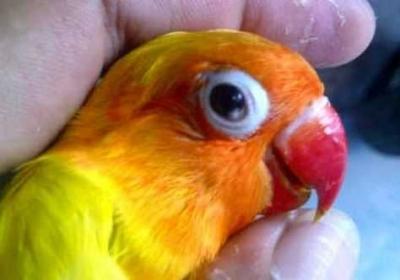 Cara Menangani Snot Pada Burung Lovebird