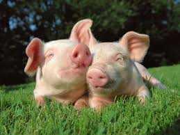 Binatang Babi, Antara Dibenci dan Disuka