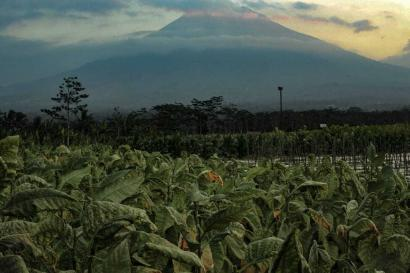 Nasib Para Petani Tembakau di Temanggung