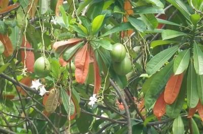 Pohon Bintaro, Si Pengusir Tikus