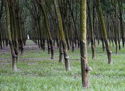 Pertanian Karet di Sumatera Selatan