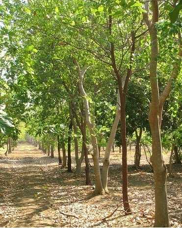 Mengenal Pohon Cendana yang Dicari Orang Seluruh Dunia