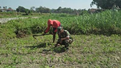 Babinsa Koramil Garum Turun Sawah Bantu Petani Singkirkan Rumput