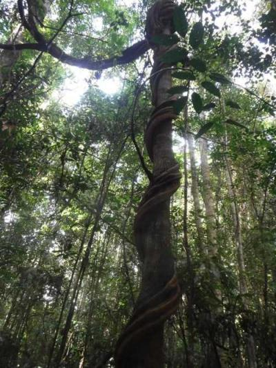 Liana si Penumpang pada Pohon dan Pemberi Manfaat bagi Satwa