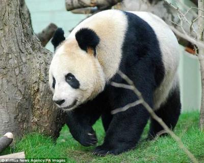 Uniknya Panggilan Cinta Panda