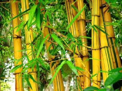 Bambu, Tanaman Ajaib yang Dipandang Sebelah Mata