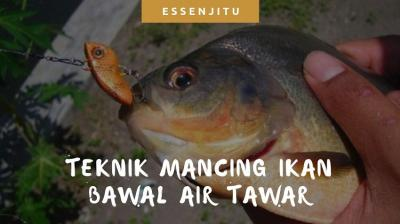 Teknik Mancing Ikan Bawal Air Tawar yang Wajib Anda Coba