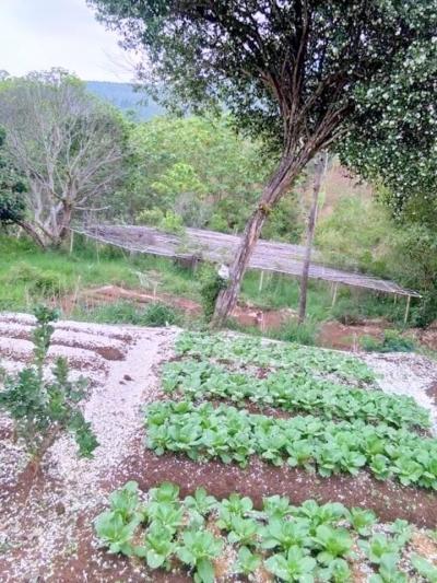Bunga Kemuning Menghancurkan Pakcoy di Cijapati (Musibah Indah UKM Petani Organik)
