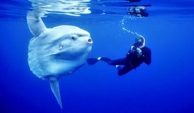 Mengenal Biota Laut Mola-mola, Ikan Raksasa yang Hobi Berjemur