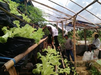 Hasil Tanam Petani Binaan LSM MKM, Pekarangan Hijau dengan Tanaman Segar