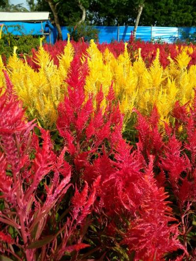 Taman Bunga Ambal Kebumen