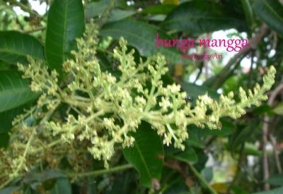 A Sweet Memory with Mango Flowers
