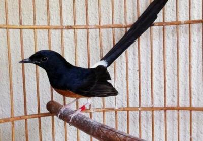 Tips Memilih Burung Murai Batu Berkualitas