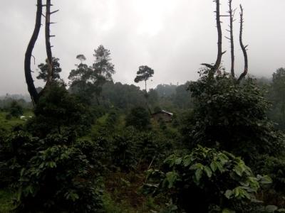 Road to Harvest, Manis Kopi di Ujung Lidah