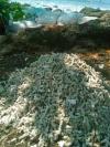 Kompepar Menyesalkan Penjarahan Patahan Terumbu Karang Mati di Pantai Geopark Sukabumi