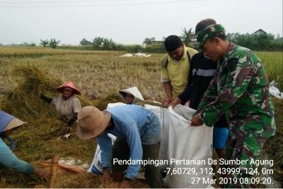 Babinsa Koramil 0815/15 Jatirejo Dampingi Poktan Panen Padi