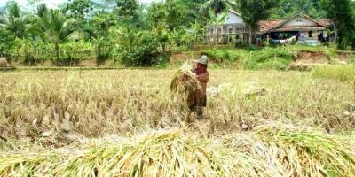 Jumlah Petani Indonesia Menurun, Generasi Muda Harus Bertindak