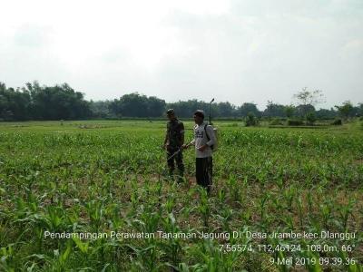 Babinsa Jrambe Aktif Dampingi Petani Semprot Tanaman Jagung