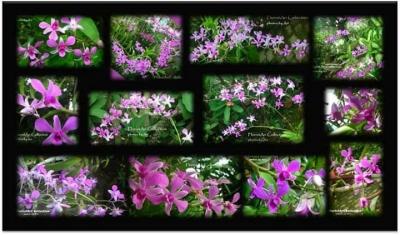 Anggrek Dendrobium Ungu Koleksiku