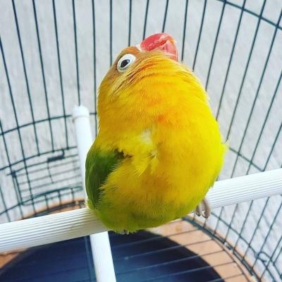 Jenis Burung Lovebird Paling Mahal Hingga Puluhan Juta Rupiah!