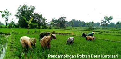 Bersama Petani Babinsa Koramil 0815/13 Kutorejo Rawat Tanaman Padi
