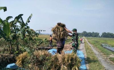 Babinsa Pos Ramil Mojoanyar Aktif Dampingi Petani Panen Padi