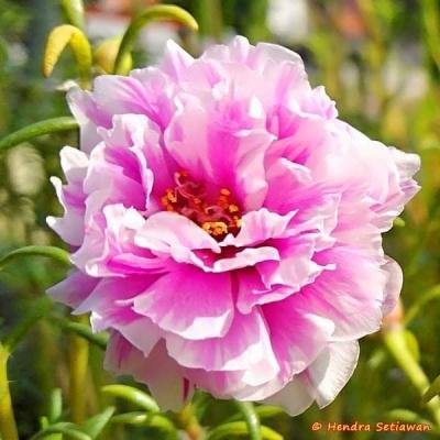 Bunga Cinta (Mengapa Bunga)