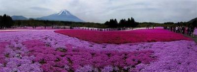 """Menikmati """"Sakura Rumput"""" di Fuji Shibazakura Festival 2019"""