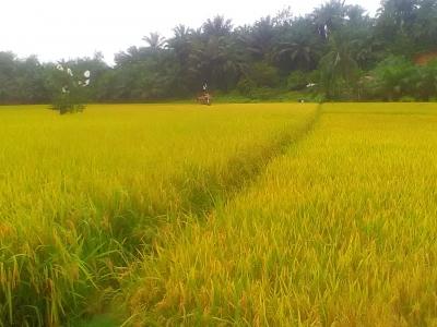 Peran Regenerasi Petani dalam Mewujudkan Swasembada Pangan di Indonesia